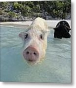 Swimming Pigs Metal Print