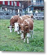 Swiss Cows Metal Print