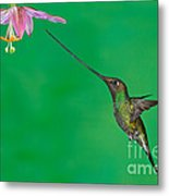 Sword-billed Hummer Metal Print