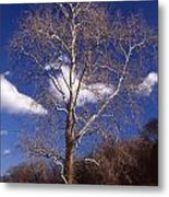 Sycamore On The Hill Metal Print
