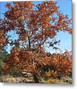 Sycamore Tree In Fall Colors Metal Print