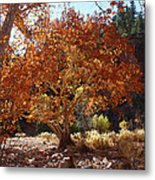 Sycamore Trees Fall Colors Metal Print