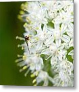 Syrphid Feeding On Alliium Blossom Metal Print