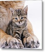 Tabby Kitten Between Large Dogs Paws Metal Print