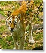 Tabby Tiger IIi Metal Print