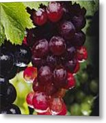 Table Grapes Closeup Metal Print by Craig Lovell