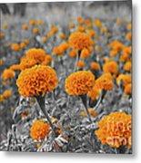 Tagetes Erecta / Aztec Marigold Flower Metal Print