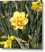 Tahiti Double Daffodil Metal Print