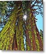 Tahoe Trees - Lake Tahoe By Diana Sainz Metal Print