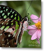 Tailed-jay Butterfly Metal Print