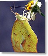 Tailed Orange Butterfly Metal Print
