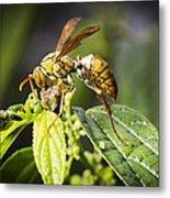 Taiwan Hornet Feeding On A Caterpillar Metal Print