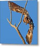 Taking Flight - Immature Bald Eagle Metal Print