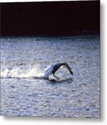 Taking Off Swan Metal Print