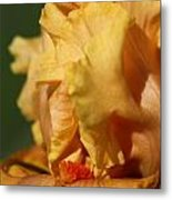 Tall Bearded Iris Named Penny Lane Metal Print