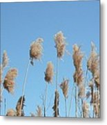 Tall Feathered Grass Hits Sky Metal Print