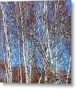 Tall White Birches Metal Print