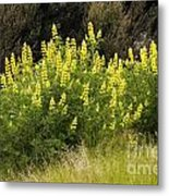 Tall Yellow Lupin Metal Print