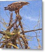 Tawny Eagle  Aquila Rapax Calling From  Acacia Bush Metal Print