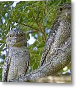 Tawny Frogmouths Metal Print