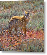 Teton Coyote Metal Print