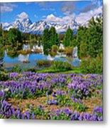 Teton Spring Lupines Metal Print