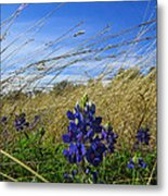 Texas Bluebonnet Center Of Attention Metal Print