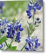 Texas Bluebonnets 01 Metal Print