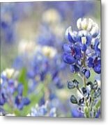 Texas Bluebonnets 05 Metal Print