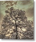 Texas Oak Tree Metal Print