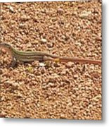 Texas Striped And Spotted Whiptail Lizard Metal Print