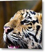 Thai Bengal Tiger Metal Print