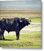 The African Buffalo. Ngorongoro In Tanzania. Metal Print