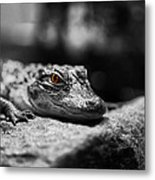 The Alligator's Eying You Metal Print