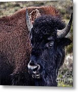 The American Bison Metal Print