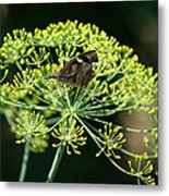The American Snout Butterfly Metal Print