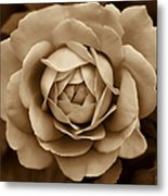 The Antique Rose Flower Metal Print