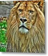 The Attentive Lazy Boy At The Buffalo Zoo Metal Print