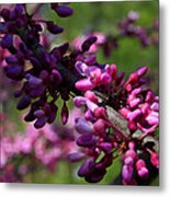 The Beautiful Redbud Tree Metal Print