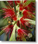 The Bee And Bottlebrush Metal Print