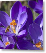 The Bee And The Crocus Metal Print