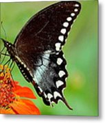 The Butterfly And The Zinnia Metal Print