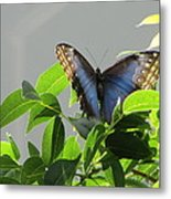 The Butterfly Displaying Its Beauty Metal Print