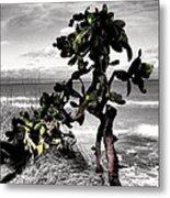 The Catus Tree Siesta Key Florida Metal Print