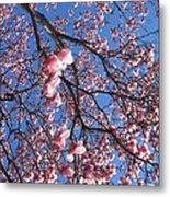 The Cherry Blossons Metal Print
