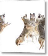 The Choir - Coyotes Metal Print