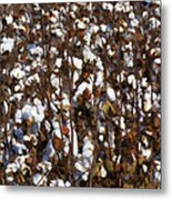 The Cotton Buzz In Alabama Metal Print