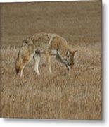 The Coyotes Metal Print