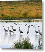 The Dance Of The Sandhill Cranes Metal Print