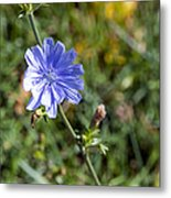 The Delicate Baby Blue Chickory Metal Print
